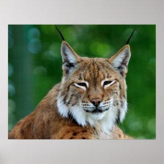 Schönes Fotoplakat des Bobcat oder des Luchses, Dr Poster