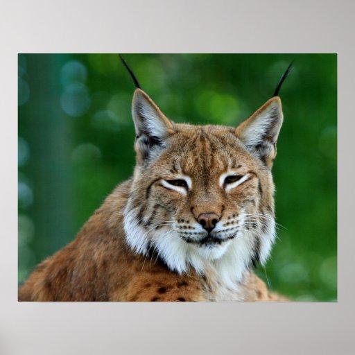 Schönes Fotoplakat des Bobcat oder des Luchses, Dr Plakatdrucke