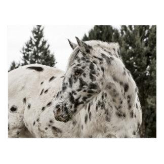 Schönes Schwarzweiss-Appaloosa-Pferd Postkarte