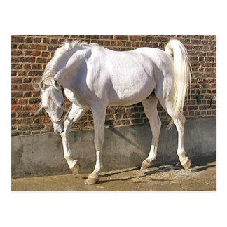 Schönes weißes arabisches Pferd Postkarte