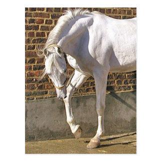 Schönes weißes arabisches Pferd Postkarten