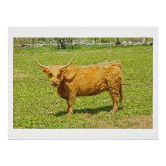 Schottische Hochland-Kuh auf dem Bauernhof-Gebiet Poster