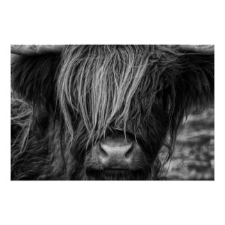 Schottische Hochland-Kuh, Hochländer, Poster