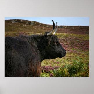 Schottische Hochland-Kuh in Schottland, Hochländer Poster