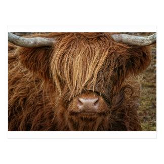 Schottische Hochland-Kuh - Schottland Postkarte