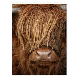 Schottische Hochland-Kuh - Schottland Postkarten