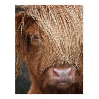 Schottische Hochland-Kühe - Schottland Postkarte