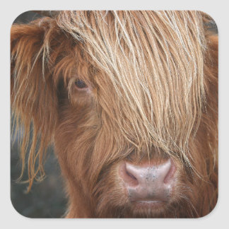 Schottische Hochland-Kühe - Schottland Quadratischer Aufkleber