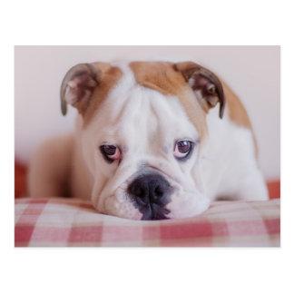 Schüchterner englischer Bulldoggen-Welpe Postkarte