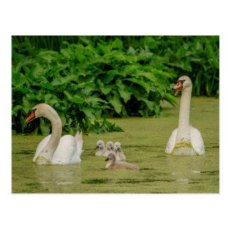 Schwan-Familie Postkarte