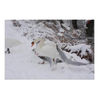 Schwäne durch den schneebedeckten Flussufer Poster