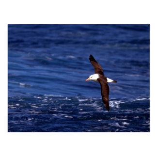 Schwarz-Browed Albatros im Flug Postkarte
