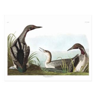 Schwarz-Throated Taucher Audubon Platten-346 Postkarte
