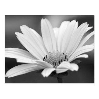 Schwarz-weiße Gänseblümchen Zazzle Postkarten