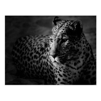Schwarz-weißer Leopard Postkarte