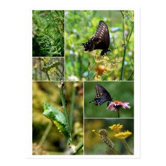 Schwarze Frack-Schmetterlings-Lebenszyklus-Postkar Postkarten