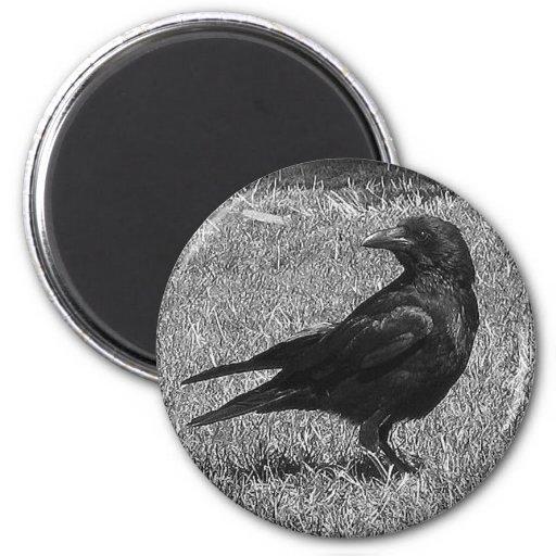 Schwarze Krähe Kühlschrankmagnet