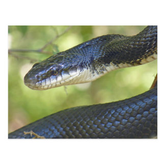 Schwarze Ratten-Schlangen-Postkarte Postkarte
