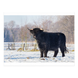 Schwarze schottische Hochländerkuh im Winterschnee Postkarte