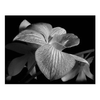schwarze orchidee postkarten schwarze orchidee ansichtskarten. Black Bedroom Furniture Sets. Home Design Ideas