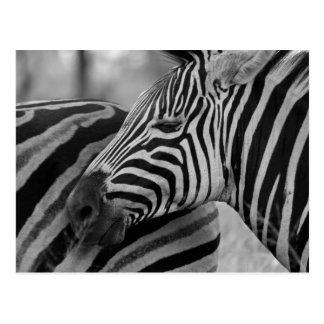 Schwarze/weiße Zebra-Postkarte Postkarten