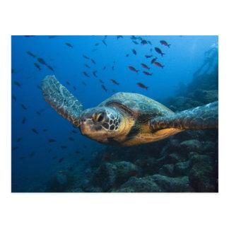 Schwärzen Sie (grüne) Schildkröte (Chelonia Postkarte