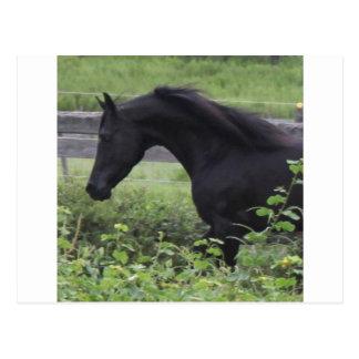 Schwarzer arabischer Stallion Postkarte