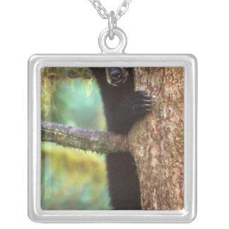 schwarzer Bär, Ursus americanus, Junges im Baum, Versilberte Kette