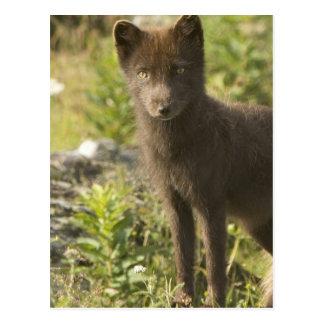 Schwarzer Fox-Postkarte Postkarte