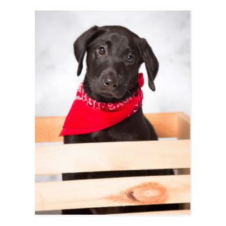 Schwarzer Labrador retriever-Welpe Postkarte