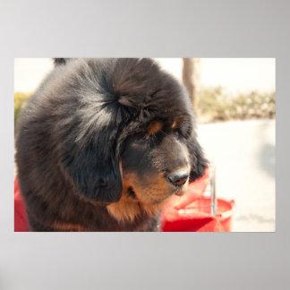 Schwarzer tibetanischer Mastiff Poster