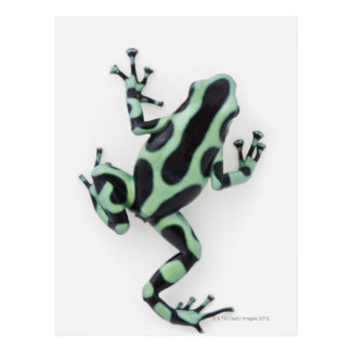 Schwarzer und grüner Gift-Pfeil-Frosch 2 Postkarte