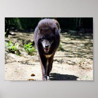 schwarzer Wolf Poster
