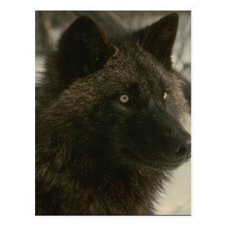 Schwarzer Wolf Postkarte