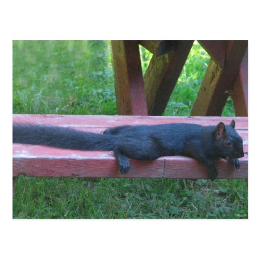 Schwarzes Eichhörnchen Postkarten