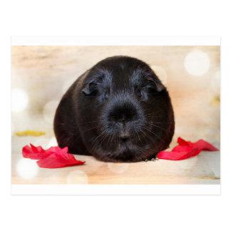Schwarzes kurzhaariges Romance Meerschweinchen Postkarte