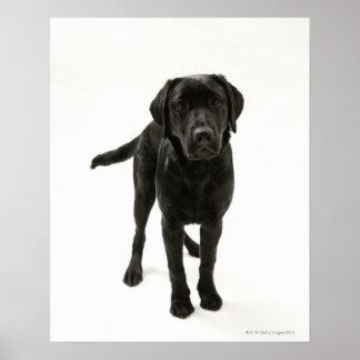 Schwarzes labrador retriever poster