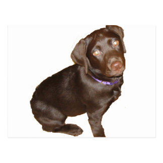 Schwarzes Labrador retriever Postkarte
