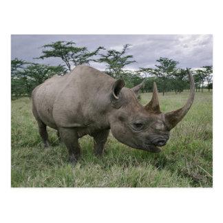 Schwarzes Nashorn, Diceros bicornis, Kenia 2 Postkarte