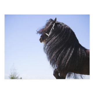 schwarzes Pferd mit der langen Mähne Postkarte