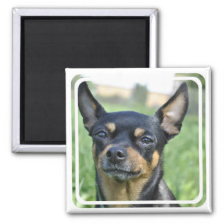 Schwarzes und Brown-Chihuahua-Magnet Quadratischer Magnet