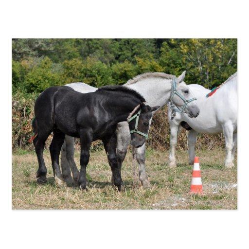 Schwarzes und graues Percheron Fohlen in Frankreic Postkarten