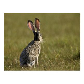 Schwarzschwanziger Hase, Lepus californicus, 2 Postkarte