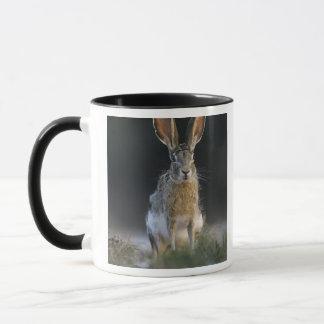 Schwarzschwanziger Hase, Lepus californicus, 2 Tasse