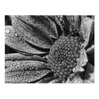 Schwarzweiss-Blume mit Morgentau, Postkarte