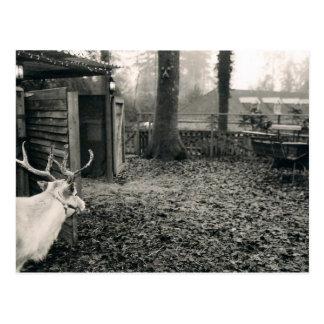Schwarzweiss-Foto des Rens und des Sleigh Postkarte