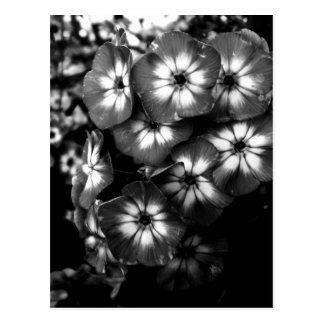 Schwarzweiss-Gartenphlox-Blumengruppe Postkarte