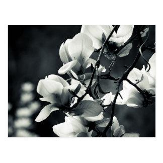 Schwarzweiss-Magnolie Postkarte