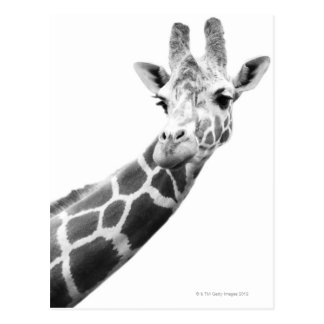 Schwarzweiss-Porträt einer Giraffe Postkarten