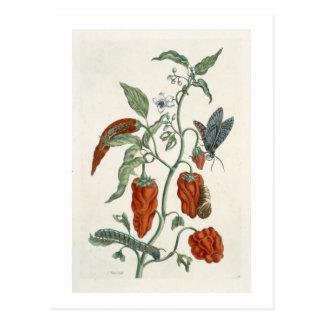 """Schwarzwurz, von """"einem neugierigen Kräuter"""", 1782 Postkarte"""